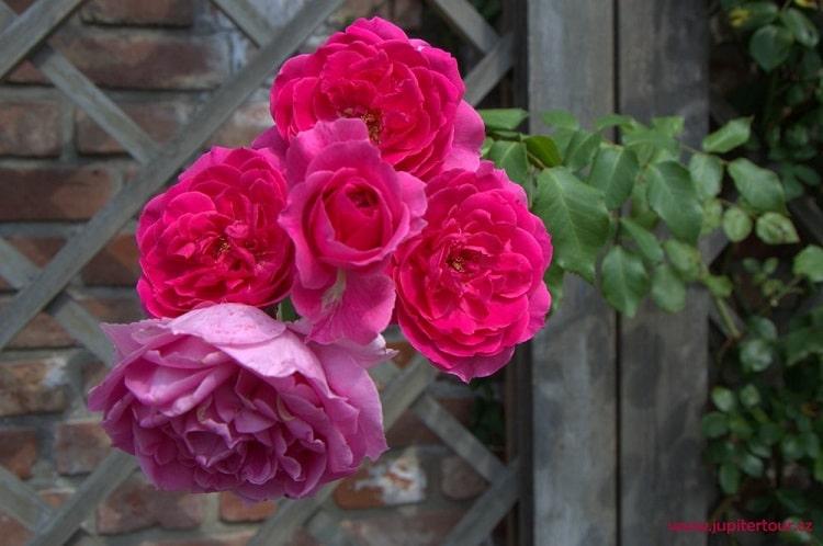 Роза, Южные террасы, Градец Кралове